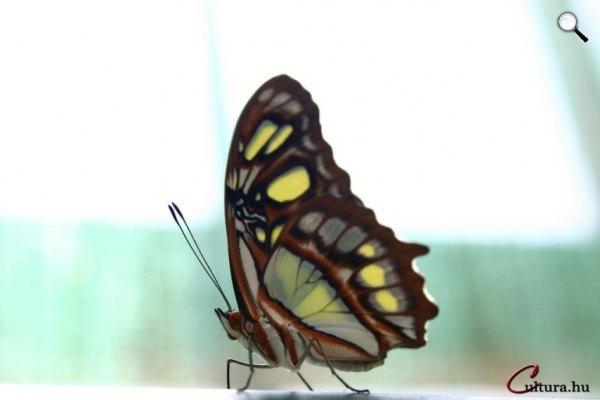 Pillangó (Fotó: Oldal Gergely)