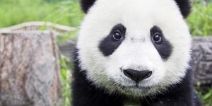 My Animal Family - Little Panda