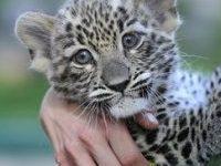 leopárdkölyök, Fővárosi Állatkert (MTI Fotó: Bruzák Noémi)