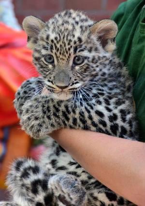 leopárdkölyök, Fővárosi Állatkert (Forrás: Fővárosi Állatkert / Facebook)