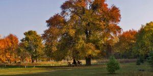 Év fája 2013, vackorfa (vadkörte) (fotó: Takács Gábor)
