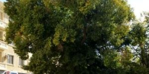 1100 éves Öreg szil, Az év fája 2014, Bulgária, Szliven (Fotó: treeoftheyear.org)