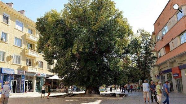 1100 éves Öreg szil, Az év fája 2014, Bulgária, Szliven