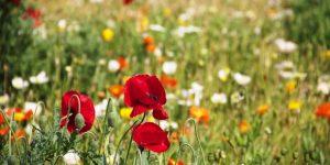 virág, pipacs, rét
