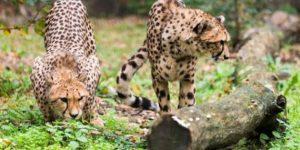 Taiga és Tiara, a Nyíregyházi Állatpark két új nőstény gepárdja (Acinonyx jubatus) (MTI Fotó: Balázs Attila)