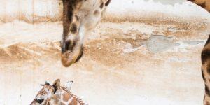 Zsiráf született a Nyíregyházi Állatparkban (MTI Fotó: Balázs Attila)