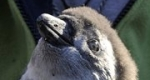 Rosie, Pápaszemes pingvin, Fővárosi Állat- és Növénykert (MTI Fotó: Kovács Attila)
