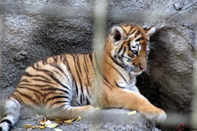 Fővárosi Állat- és Növénykert, tigris (Fotó: Bernd Bleiel/Cultura.hu)