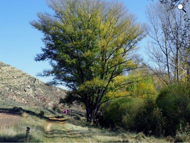 Fekete nyárfa, Spanyolország, Remolinar (Fotó: Chusé Lois Paricio/treeoftheyear.org)