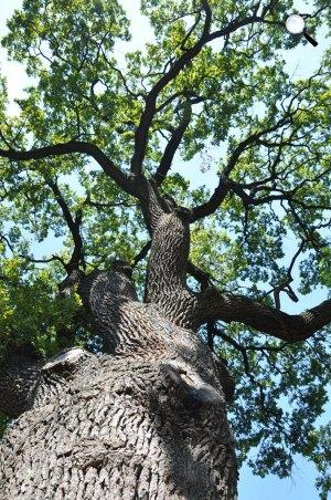 Kocsányos tölgy (Quercus robur) (Fotó: Korda Márton)