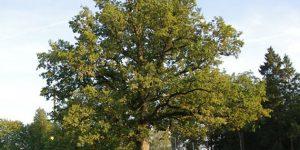 150 éves Tölgy (Quesrcus robur), Észtország  (Fotó: Elina Kalm/treeoftheyear.org)