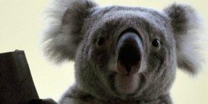 Vobara nevű koala (Phascolarctos cinereus) a Fővárosi Állat- és Növénykertben (MTI Fotó: Kovács Attila)