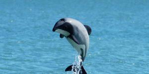 Hector delfin ugrik (Fotó: WWF/Will Rayment)