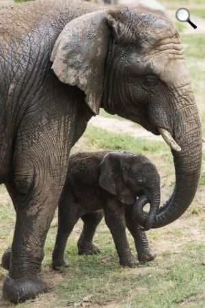 Háromnapos, afrikai elefántborjú (Loxodonta africana) anyjával a Nyíregyházi Állatparkban, 20