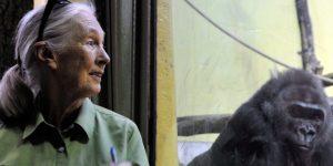 Jane Goodall etológus, antropológus, főemlőskutató a Fővárosi Állatkertben, Budapest (MTI Fotó: Kovács Attila)