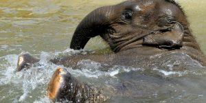 Asha, a kétéves elefántborjú fürdik a kifutó medencéjében a Fővárosi Állat- és Növénykertben (MTI Fotó: Kovács Attila)