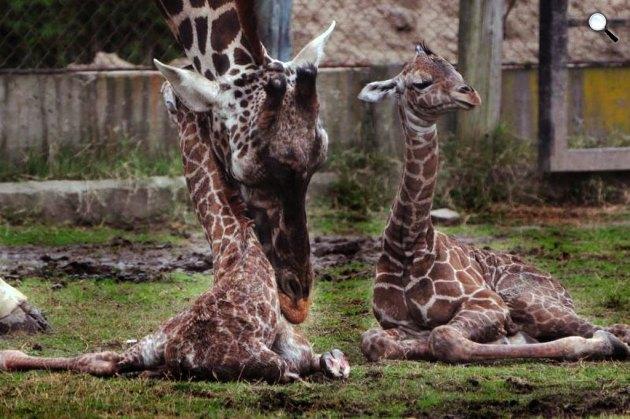 Zsiráfikrek és Jackie, az anyukájuk, Buenos Aires (Fotó: Laura Gravino/Zoo Buenos Aires   )