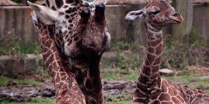 Zsiráfikrek és Jackie, az anyukájuk,  Buenos Aires (Fotó: Laura Gravino/Zoo Buenos Aires)