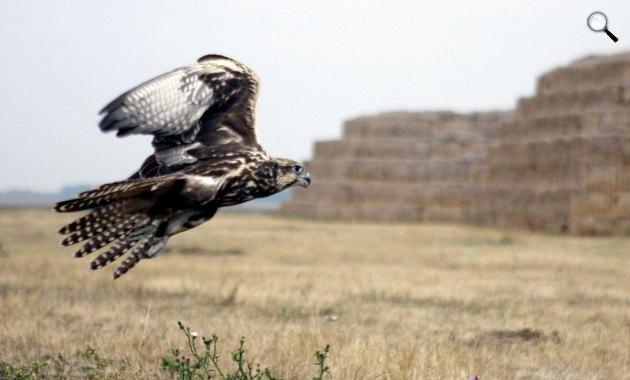 Kerecsensólyom repül (MTI Fotó: Lehoczky Péter)