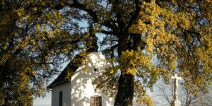 Bátaszék legöregebb fája, a molyhos tölgy, Magyarország Fotó: A Bátaszék városa (Révész Dániel, Müller Éva, Miskei Vendel, Székely Ilona, Lassú Sándor)