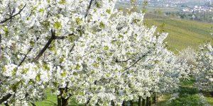 Tavasz, gyümölcsfák egy kertben
