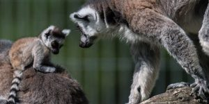 Gyűrűsfarkú maki vagy katta (Lemur catta) a Kecskeméti Vadasparkban (MTI Fotó: Ujvári Sándor)