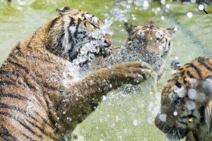 Vízzel hűtik a szibériai tigriseket a hőségben a Gyöngyösi Állatkertben, 2016 (MTI Fotó