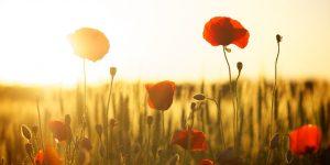 Virág, pipacs, napsugár, nyár (Fotó: pixabay.com)