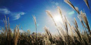 Őszi napsütés, kalász (Fotó: pixabay.com)