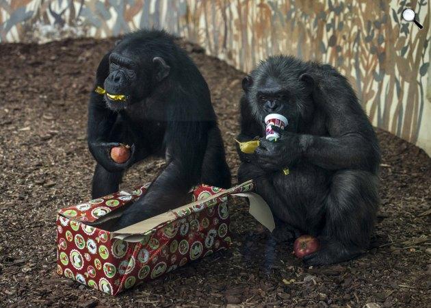 Csimpánzok a gyümölcsöket rejtő karácsonyi csomagjukat bontják ki a kifutójukban, a Veszprémi Állatkertben, 2016. (MTI Fotó: Bodnár Boglárka)