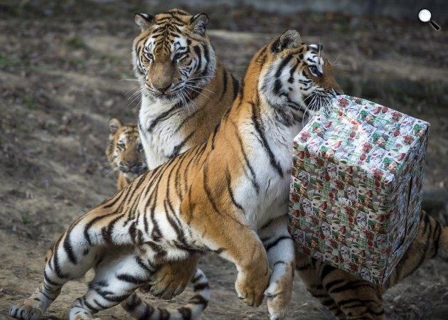 Tigrisek a csirkehúst rejtő karácsonyi csomagjukat bontják ki a kifutójukban, a Veszprémi Állatkertben, 2016 (MTI Fotó: Bodnár Boglárka)