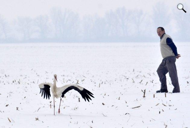 Egy gólya hazánkban vészeli át a telet, Tiszavárkony (MTI Fotó: Mészáros János)