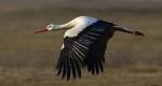 A fehér gólyák egyike (Ciconia ciconia) (MTI Fotó: Czeglédi Zsolt)