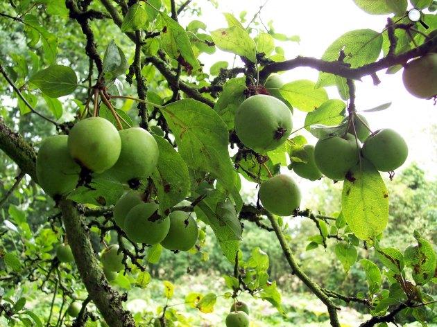A vadalma (Malus sylvestris), fa, növény (Fotó: pixabay.com)