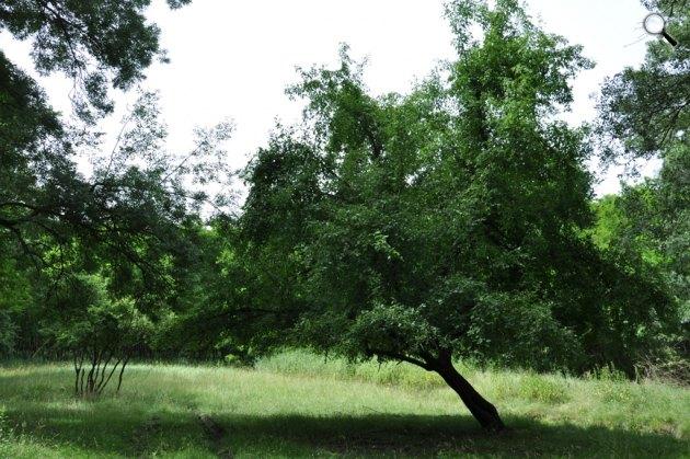 A vadalma (Malus sylvestris), fa, növény (Fotó: Év Fája)