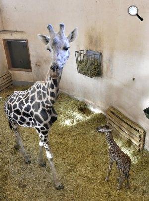A 2017. január 1-jén született zsiráfborjú és anyja, Santana a Fővárosi Állat- és Növénykertben (MTI Fotó: Máthé Zoltán)