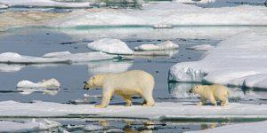 A jegesmedvék is a globális felmelegedés károsultjai (Fotó: climatechangedispatch.com)