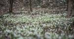 Hóvirágok Alcsúton (MTI Fotó: Bodnár Boglárka)