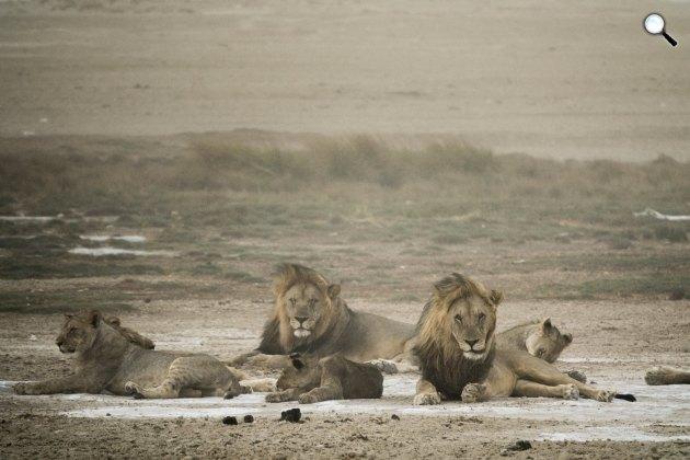 Oroszlánok a  namíbiai só-sivatagban (Fotó: Chris Schmid)