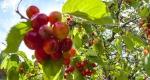 Érik a cseresznye a Zala megyei Tormaföldén (MTI Fotó: Varga György)