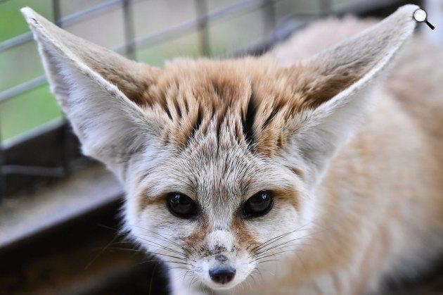 Sivatagi rókák (Vulpes zerda) a Debreceni Állat- és Növénykertben 2017 (MTI Fotó: Czeglédi Zsolt)