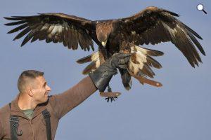 Dante nevű szirti sas (Aquila chrysaetos), Tóth Levente solymász madara Nagyhegyes közelében, 2017 (MTI Fotó: Czeglédi Zsolt)