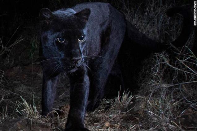 cougar Kenyában