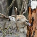 Téli vadetetés, dámszarvas (Dama dama) bika, Ipoly Erdő, somoskői vadaspark, Salgótarján, 2015 (MTI Fotó: Komka Péter)