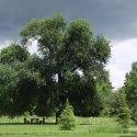 Év fája 2013, vackorfa (vadkörte) (fotó: Czóbel Szilárd)